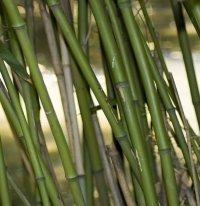 Cretaceous Plants - Bamboo