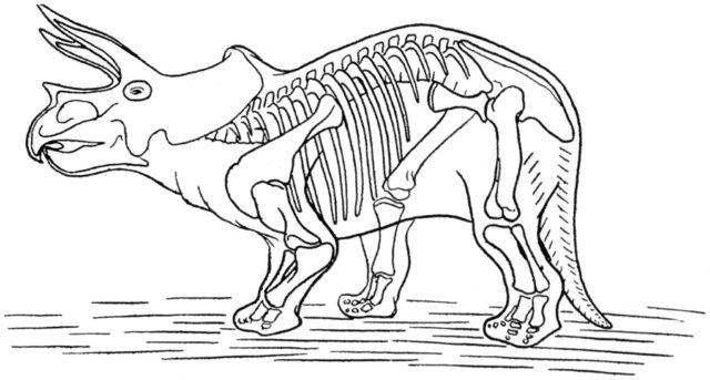dinosaur skeleton of triceratops